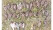জমিতে ছিটানো কীটনাশকযুক্ত মাসকালাই খেয়ে ৭২ ঘুঘু-কবুতরের মৃত্যু